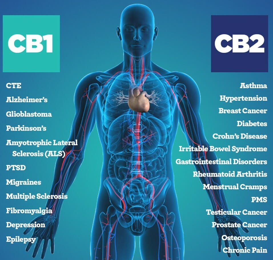 CBD Oil And Hormones – The Effects On The Endocrine System And