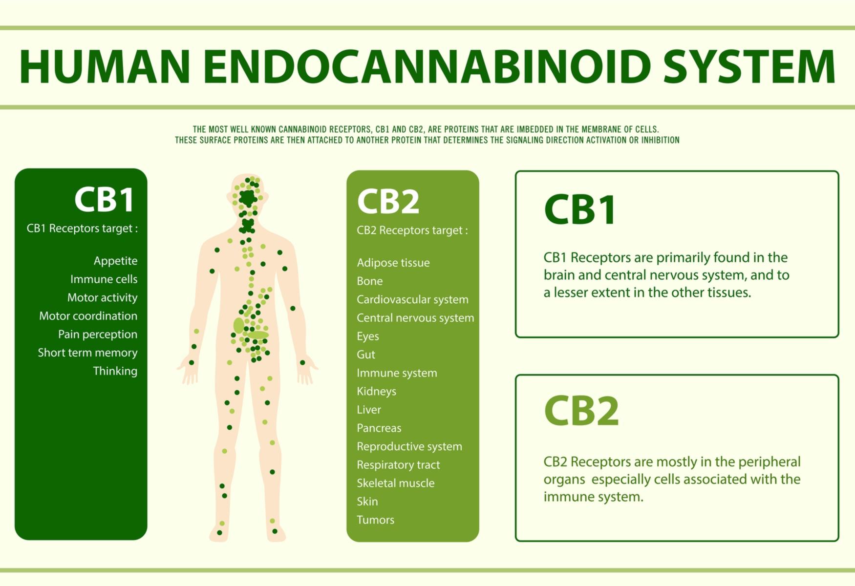 the human endocannabinoid system