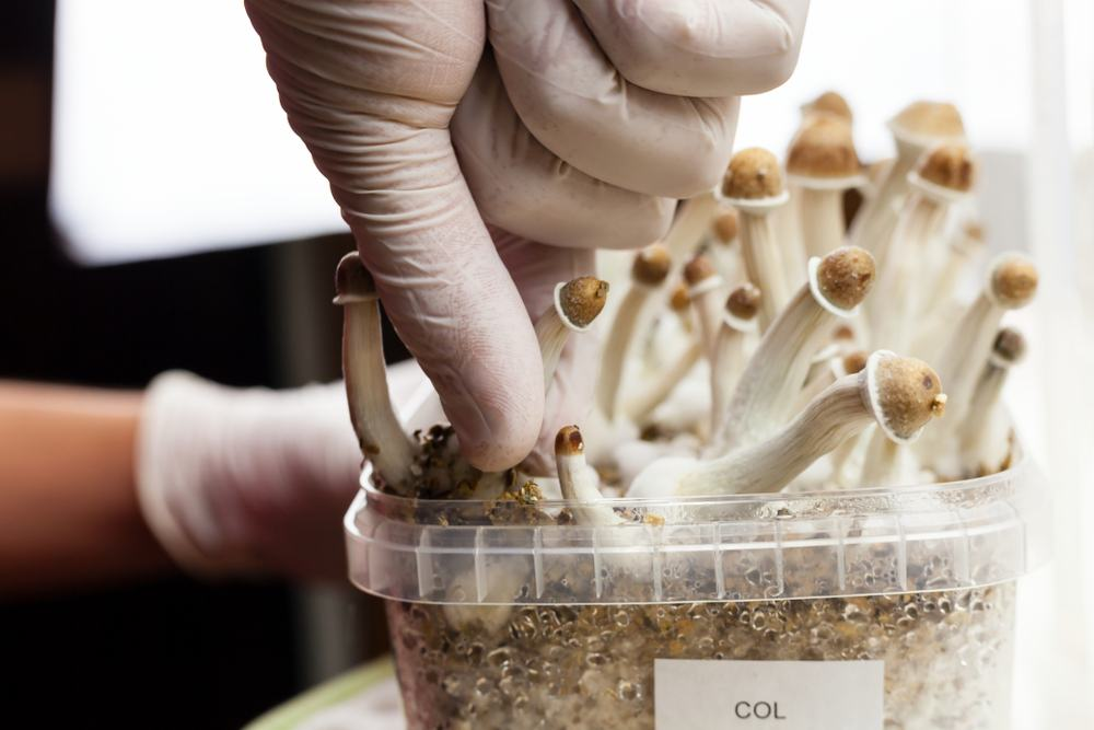 growing psilocybin shrooms at home