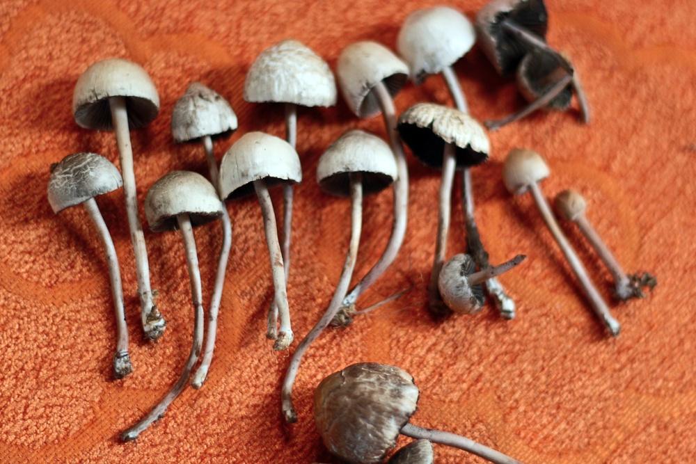 where to order psilocybin mushrooms in canada