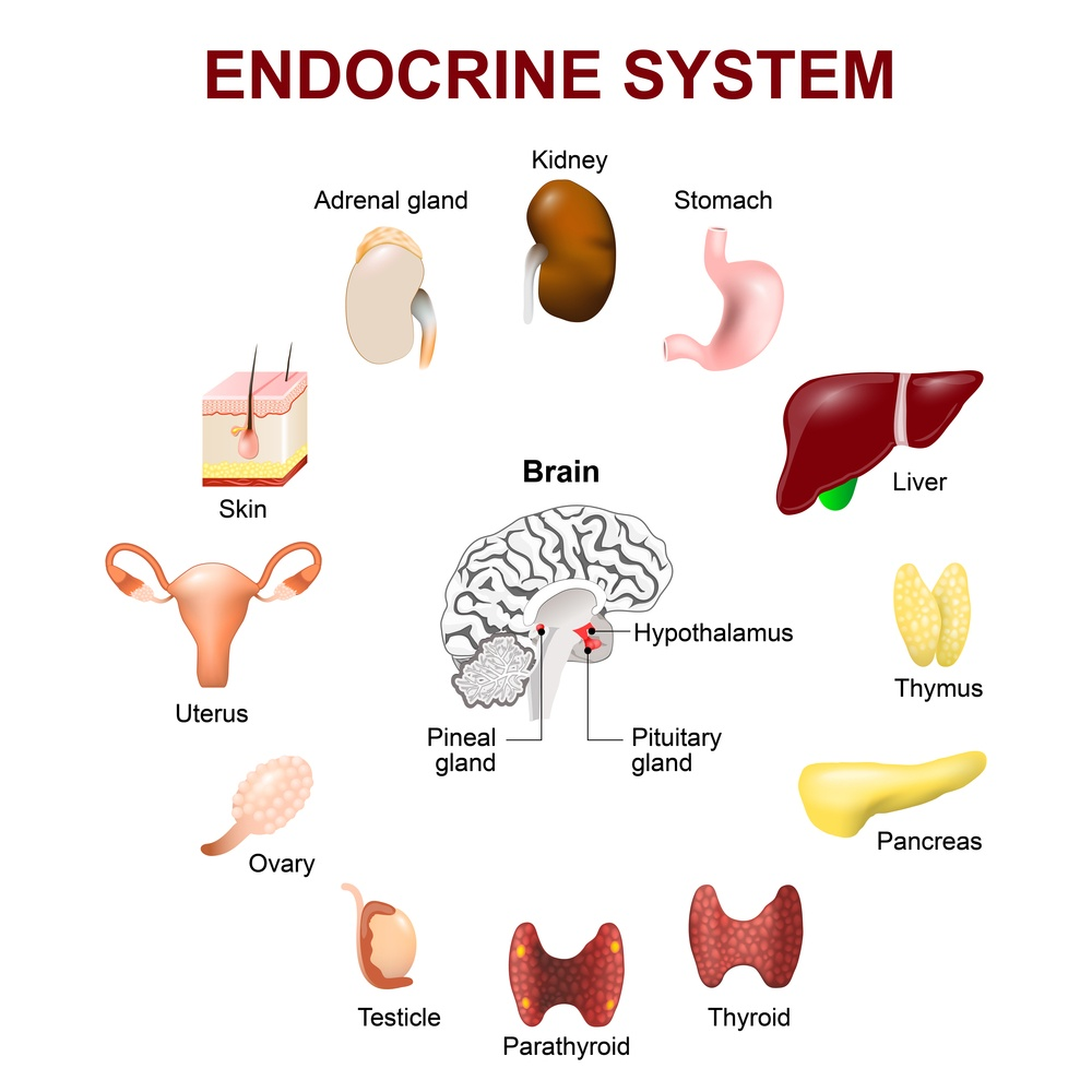 cbd oil and the endocrine system