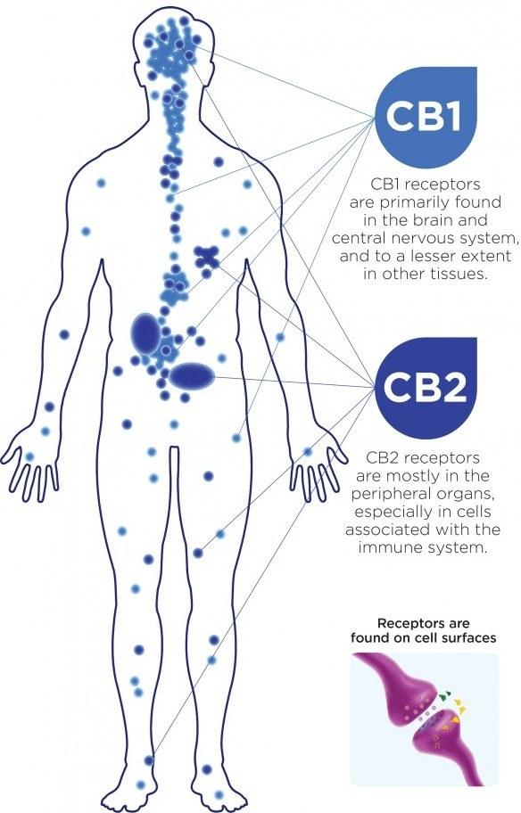 cb1 and cb2 receptors